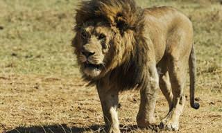 15 עובדות מסקרנות ומעניינות ביותר על אריות