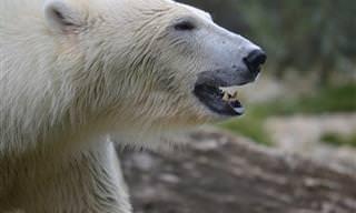 13 עובדות מדהימות על דובי קוטב - מספר 9 מפתיע במיוחד!