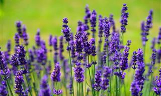 18 שימושים מועילים ומפתיעים בצמח הלבנדר