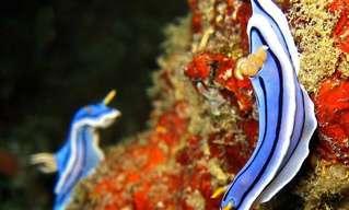 עולמן הססגוני של חשופיות הים