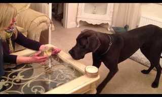 כלב דני ענק פוגש ברווזון קטנטן