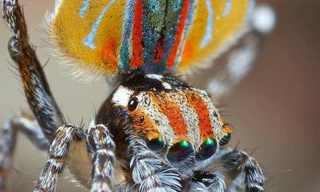 ריקוד החיזור המדהים של עכביש הטווס