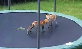 השועל שגילה את נפלאות הטרמפולינה!