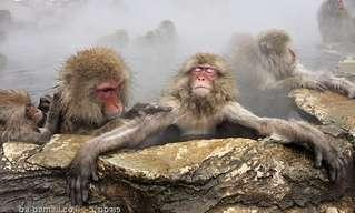 הקופים האלה יודעים לפנק את עצמם