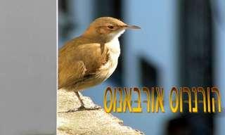 ציפור ההורנרוס אורבאנוס בפעולה