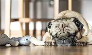 על מה כלבים חולמים? פסיכולוגים מהרווארד מצאו את התשובה