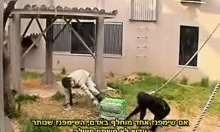 ניסוי מדהים באינטיליגנציה של שימפנזים
