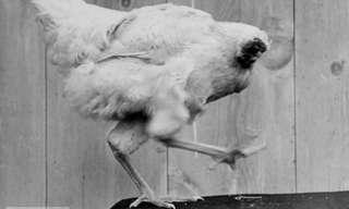 תופעה מוזרה - תרנגול ללא ראש