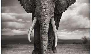 חיות הבר האפריקאיות בצילומי שחור לבן מרהיבים