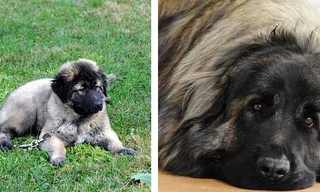 14 גזעי כלבים נדירים שכנראה לא הכרתם!