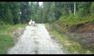 כבשה תוקפת זאב - מדהים!