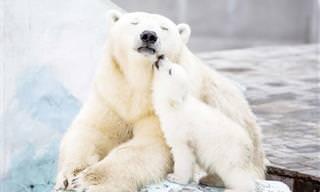 18 אמהות דובים והגורים החמודים שלהן