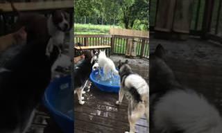 כלב לא מאפשר לחבריו להיכנס לבריכה הקטנטנה שלו