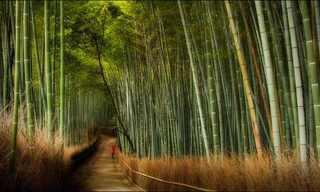 יער שכולו במבוק ענק ביפן!