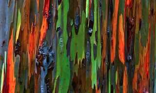 אקליפטוס הקשת - עץ מזן נדיר