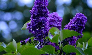 12 צמחים מומלצים לגינה ריחנית ופורחת