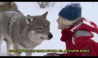 מפגש מדהים עם זאבים בטבע