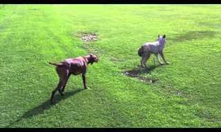 כלב צד זאב - חובה לראות!