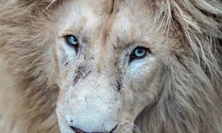 16 תמונות עוצמתיות במיוחד של מלך החיות