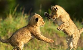 סרטון מקסים של גורי אריות משחקים ומתנהגים במתיקות
