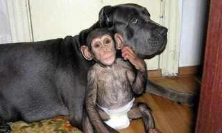 כלבה מאמצת גור שימפנזה - תמונות מרגשות