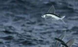 דאונים - דגים מעופפים!