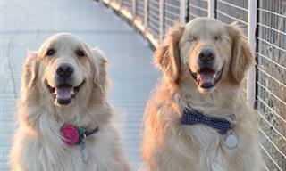 סיפור מרגש על כלב עיוור שנעזר בכלבת נחייה