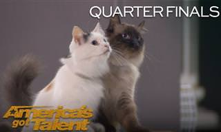 מופע פעלולים של חתולים מאולפים