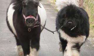 סוסים קטנטנים שנראים כמו כלבים