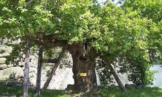 העצים ששרדו את פצצת האטום בהירושימה