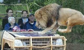 איך הם לא מפחדים מהאריה?