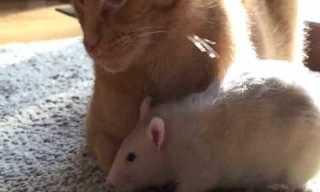 סיפור אהבה בין חתול לחולדה