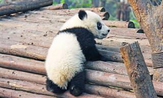 14 דובי פנדה חמודים ומצחיקים