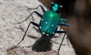 שגעון החיפושיות - צפו בתכשיט של הטבע