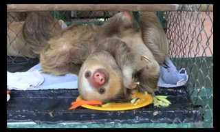 תכירו את גורי העצלן - היצורים הכי חמודים ברשת!