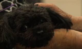 נלה - כלבת הפודל שהגיעה מגן עדן