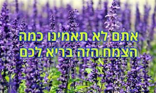 9 יתרונות בריאותיים של צמח המרווה