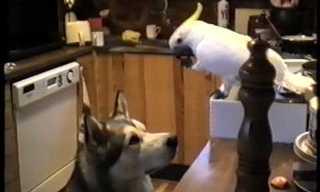 תוכי גונב ספגטי ומאכיל את הכלב - קורע!