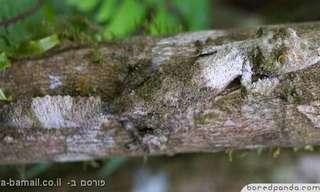 20 דוגמאות מדהימות של הסוואה בטבע