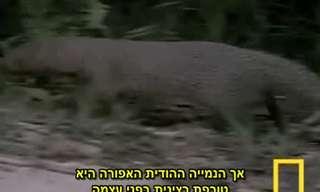 קרב מדהים בין נמייה לנחש קוברה