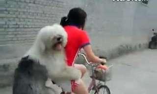 איך להרכיב כלב על אופניים? - מצחיק!