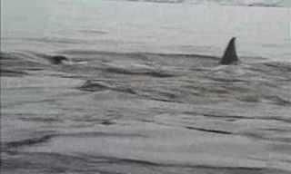 פינגווין חכם נמלט מלהקת לווייתנים - מדהים!