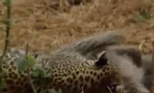 הנמרה והבבון הקטנטן