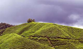נופים עוצרי נשימה של מטעי תה