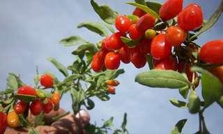יתרונותיו המדהימים של פרי הגוג'י ברי