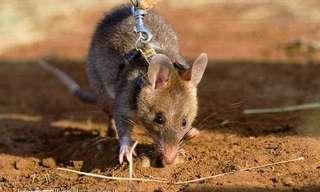 להעריך חולדות מחדש - החיה שמצילה חיים!!!!