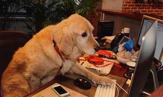 כלבים חמודים במקומות עבודה של בני אדם