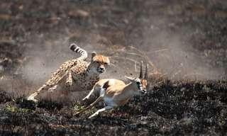 סדרת תמונות של חיות גדולות ברגע הצייד