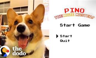 הכירו את פינו: כלב קורגי מקסים שלא מפחד ממבוכים!