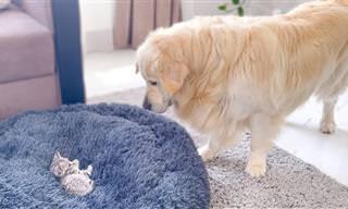 גולדן רטריבר מנסה להרחיק חתלתול שהתיישב לו על המיטה
